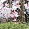 新宿御苑の桜はもはや治外法権